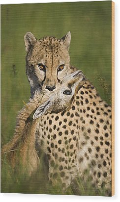 Cheetah Acinonyx Jubatus With Its Kill Wood Print by Suzi Eszterhas