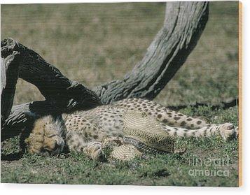 Cheetah Cub Sleeping And Guarding Hat Wood Print by Greg Dimijian
