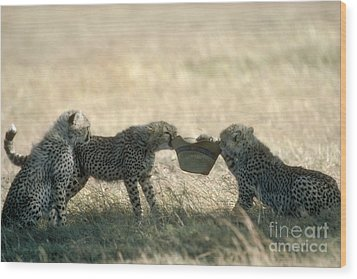 Cheetah Cubs Play With Hat Wood Print by Greg Dimijian