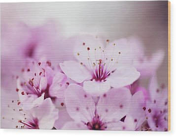 Cherry Blossom Glow Wood Print by Images by Christina Kilgour
