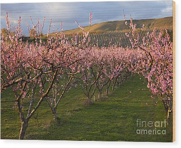 Cherry Blossom Pink Wood Print by Mike  Dawson