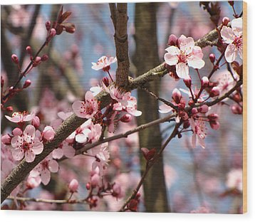 Cherry Blossoms Wood Print by Denise Keegan Frawley