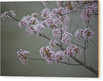 Cherry Tree Blossoms Hang Wood Print by Hannele Lahti