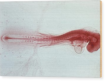 Chick Development 712 Wood Print by Science Source