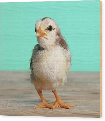 Chick On Wood Wood Print by Retales Botijero