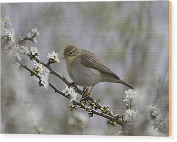 Chiff Chaff On Blackthorn Blossom Wood Print
