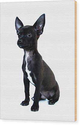 Chihuahua Puppy Wood Print by Hapa