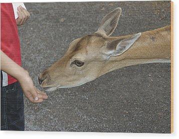 Child Feeding Deer Wood Print by Matthias Hauser