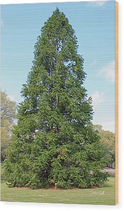 China Fir Wood Print by Suzanne Gaff