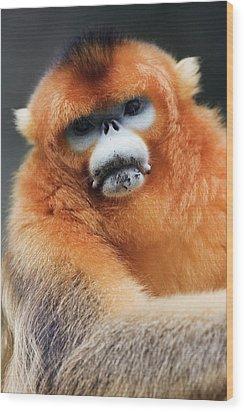 China, Shaanxi Province, Golden Monkey (rhinopithecus Roxellana ) Wood Print by Jeremy Woodhouse