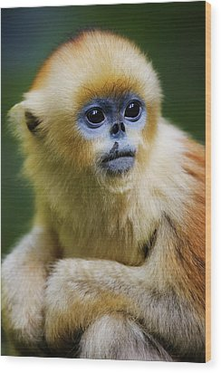 China, Shaanxi Province, Young Golden Monkey (rhinopithecus Roxellana) Wood Print by Jeremy Woodhouse