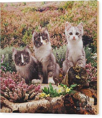 Chinchilla-cross Kittens Wood Print by Jane Burton