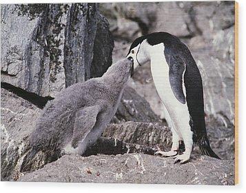 Chinstrap Penguin Feeding Chick Wood Print by Doug Allan