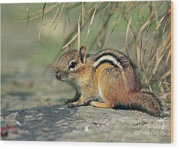 Chipmunk On A Warm Summer Evening Wood Print by Inspired Nature Photography Fine Art Photography