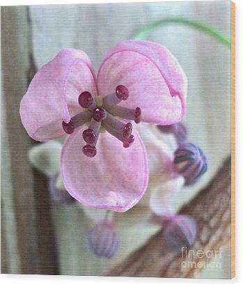 Chocolate Vine Young Bloom Macro Wood Print by Padre Art