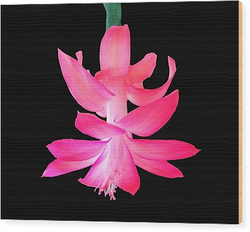 Wood Print featuring the photograph Christmas Cactus by Steven Clipperton