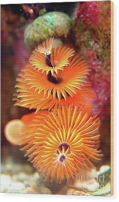 Christmas Tree Worm Wood Print by Joerg Lingnau