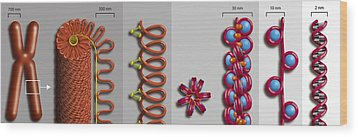 Chromatin Condensation, Diagram Wood Print by Art For Science