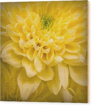 Chrysanthemum Flower Wood Print by Ian Barber