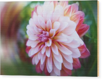 Chrysanthemum Revelation Wood Print
