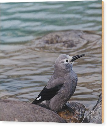 Clark's Nutcracker2 Wood Print by Cheryl Baxter