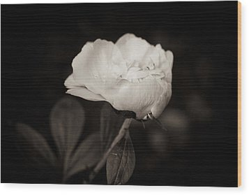 Wood Print featuring the photograph Classic Peony by Sara Frank