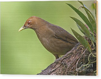 Clay-colored Thrush Wood Print