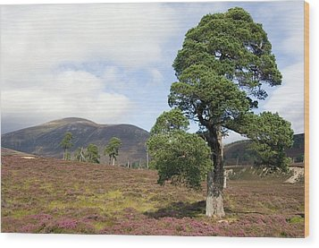 Cleared Scots Pine Forest Wood Print by Duncan Shaw