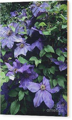 Clematis 'elsa Spath' Flowers Wood Print by Adrian Thomas