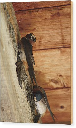 Cliff Swallows 1 Wood Print by Scott Hovind