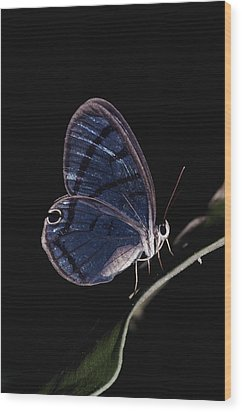 Close-up Of A Glassy-wing Butterfly Wood Print by Mattias Klum