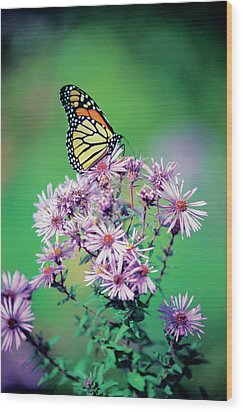 Close-up Of A Monarch Butterfly (danaus Plexippus ) On A Perennial Aster Wood Print by Medioimages/Photodisc