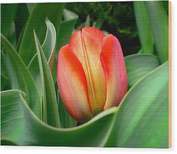 Close-up Of A Young Red Tulip Bloom With Green Leaves In A Spring Flower Bed Wood Print by Chantal PhotoPix