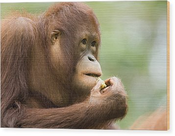 Close-up Of An Orangutan Pongo Pygmaeus Wood Print by Tim Laman