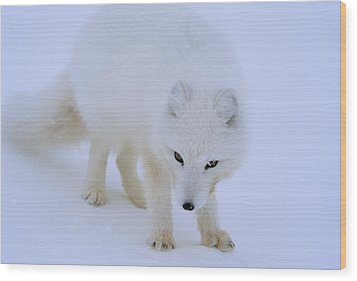 Close Up Portrait Of A White Arctic Wood Print by Norbert Rosing