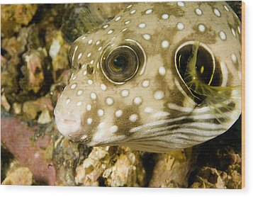 Closeup Of A White Spotted Puffer Fish Wood Print by Tim Laman