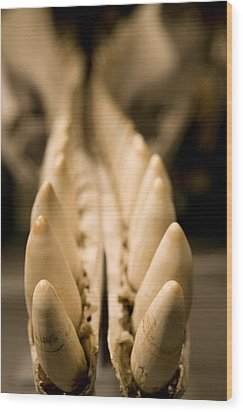 Closeup Of The Teeth Of A Sperm Whale Wood Print by Tim Laman