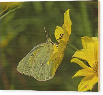 Clouded Sulphur Butterfly Din099 Wood Print