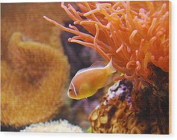 Clown Fish Wood Print by Anthony Citro