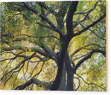 Coast Live Oak Wood Print