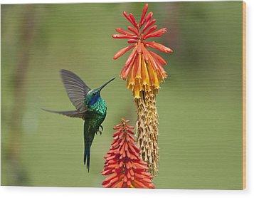 Colibri Coruscans Wood Print by Photo by Priscilla Burcher