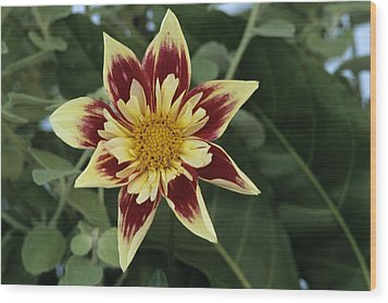 Collerette Dahlia Wood Print by Archie Young