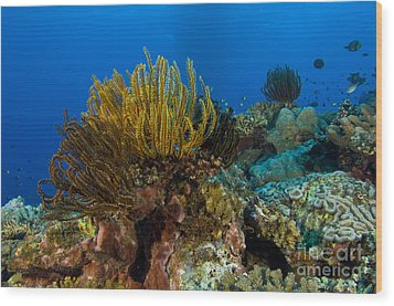 Colony Of Crinoids, Papua New Guinea Wood Print by Steve Jones