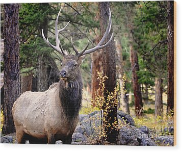 Wood Print featuring the photograph Colorado Elk by Nava Thompson