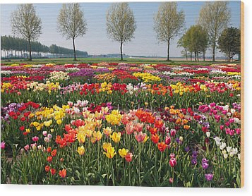 Wood Print featuring the photograph Colorful Tulips by Hans Engbers