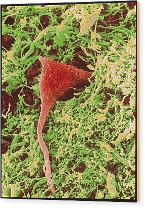 Coloured Sem Of A Nerve Cell In Brain Tissue Wood Print by Steve Gschmeissner