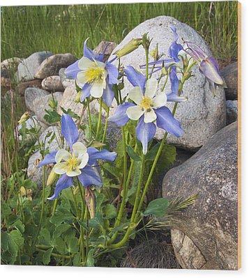 Columbine Colorado State Flower Wood Print