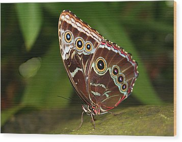 Wood Print featuring the photograph Common Blue Morpho by Laurel Talabere