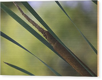 Common Cattail Wood Print by Perla Copernik