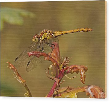 Wood Print featuring the photograph Common Darter 2 by Paul Scoullar
